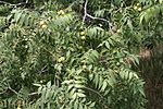 Juglans major branch.jpg