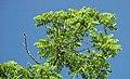 Juglans nigra (black walnut) 4 (49082745043).jpg