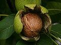 Juglans regia Echte Walnussfrucht 2.jpg