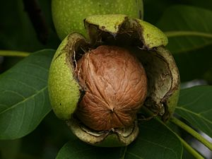 Walnut - Walnut shell inside its green husk