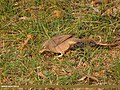 Jungle Babbler (Turdoides striata) (15708557337).jpg