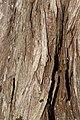 Juniperus maritima 3215.JPG