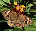 Junonia evarete (West Indian buckeye butterfly) (Florida, USA) 3 (17070886848).jpg