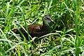 Juvenile Moorhen 紅冠水雞亞成鳥 - panoramio.jpg