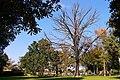 Kahler Baum im September auf dem Sachsenplatz in Dresden.jpg