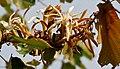 Kanak Champa (Pterospermum acerifolium) in Hyderabad W IMG 7126.jpg