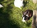Kaniner (6070766562).jpg