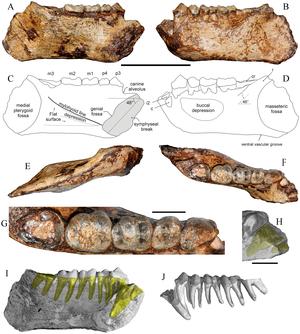 Khoratpithecus - Holotype mandible of Khoratpithecus ayeyarwadyensis from Myanmar