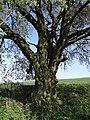 Kirsche am Eichelberg (Blofeld) 09.JPG