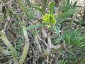 Kleinia neriifolia 2c.JPG