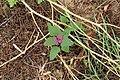 Kluse - Chenopodium giganteum - Magentaspreen 05 ies.jpg
