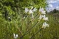 Knöllchen-Steinbrech Saxifraga granulata nordöstlich vom Kleidersee (2).jpg