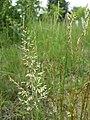 Koeleria macrantha sl6.jpg