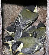Kohlmeise Jungtiere kurz vorm Verlassen des Nestes.jpg