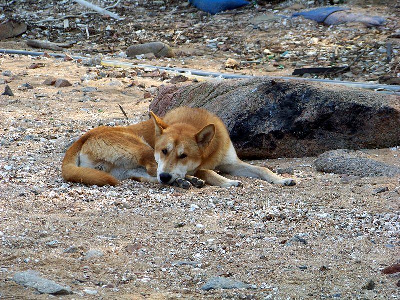 File:Korean Jindo dog.jpg