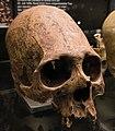 Kulturama Museum - skull.jpg