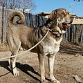 Kurdish Dog-Pshdar Dog-Kurd Mastiff-Kurdish Dog Breed.jpg