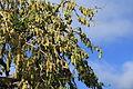 La Palma - Santa Cruz - LP-101 + Morus nigra 03 ies.jpg
