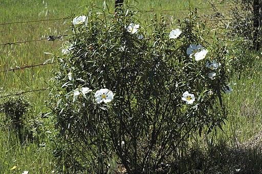 La Siberia Cistus ladanifer 128