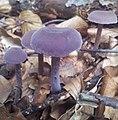 Laccaria amethystea 02 20140916.jpg