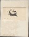 Lacerta taeniolata - 1700-1880 - Print - Iconographia Zoologica - Special Collections University of Amsterdam - UBA01 IZ12600045.tif