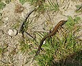 Lacerta vivipara - THE COMMON LIZARD - geograph.org.uk - 21395.jpg