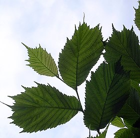 Lacinata leaves.jpg