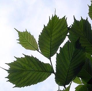 <i>Ulmus laciniata</i> Species of tree