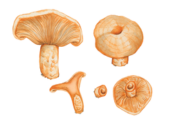 Lactarius Salmonicolor (il·lustració científica).png