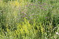 Lady's Bedstraw and Black Scabious in a Meadow.JPG