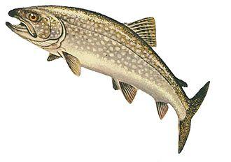 Lake trout - A lake trout