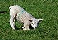 Lamb Kneeling.jpg