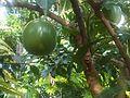 Lamiales - Crescentia cujete 4.jpg