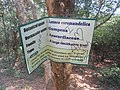 Lannea coromandelica tree at Kambalakonda 05.JPG