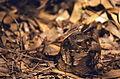 Large-tailed Nightjar (Caprimulgus macrurus) (20802184122).jpg