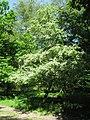Large Hawthorn Tree on side of woodland track - geograph.org.uk - 1328115.jpg