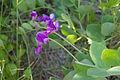 Lathyrus japonicus (200707).jpg