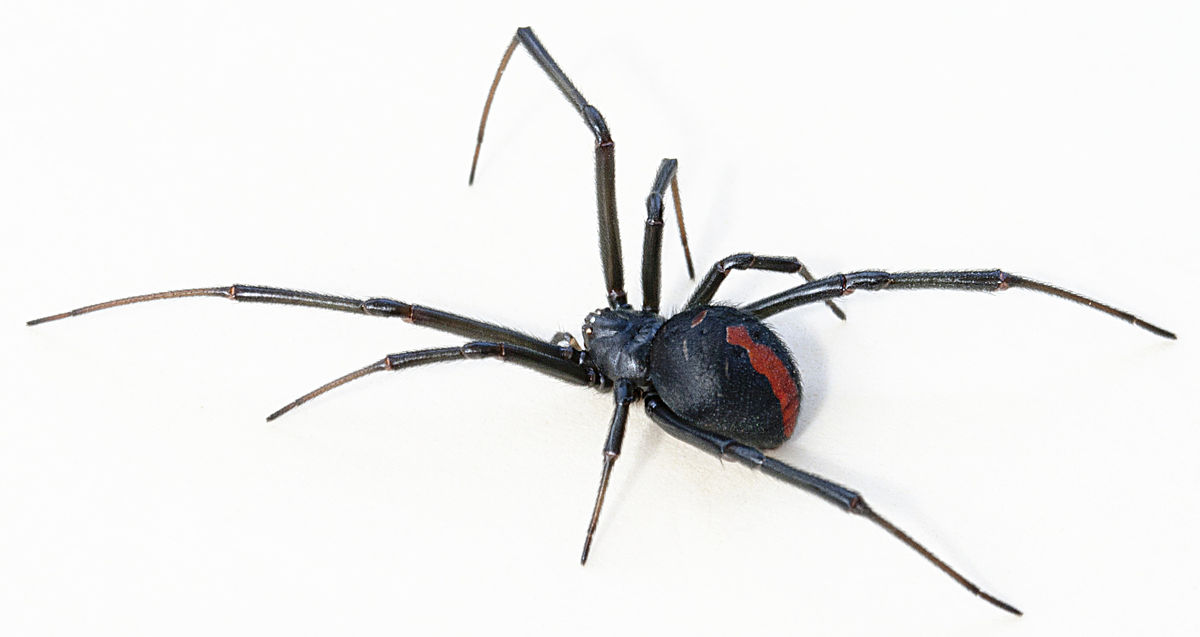 Px Latrodectus Hasseltii Close on Black Widow Diagram