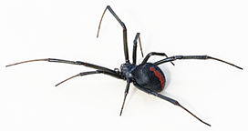 Latrodectus hasseltii close.jpg
