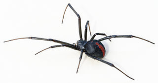 The deadly redback spider can be found in Australia