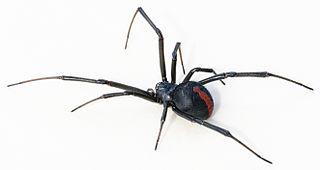 Redback spider species of arachnid