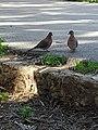 Laughing doves, AUB.jpg