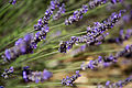 Lavender & bee outside Aix-en-Provence 2.jpg