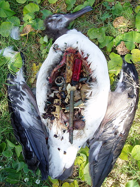 File:Laysan albatross plastic filled stomach.jpg