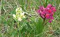 Le orchidee selvatiche a foglia larga.jpg
