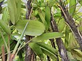 Leaf side.jpg