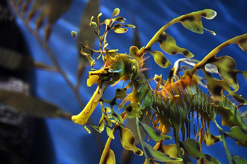 File:Leafy sea dragon by Ta-graphy.jpg
