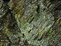 Lecanora anakeestiicola 453819.jpg