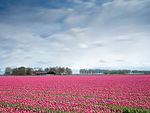 Lelystad Airport flowerfield.jpg