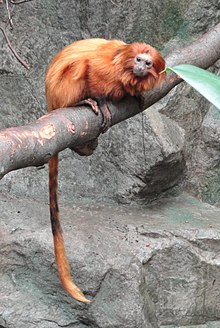 the main characteristics of golden marmosets 2 days ago  the golden lion tamarin is today considered an endangered species as   special features: golden colour and thick lion-like mane on top of head  the  biggest predators of the golden lion tamarin are nocturnal animals such.